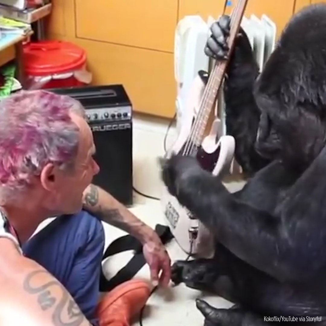 a gorilla play bass guitar with Flea from RedHotChiliPeppers