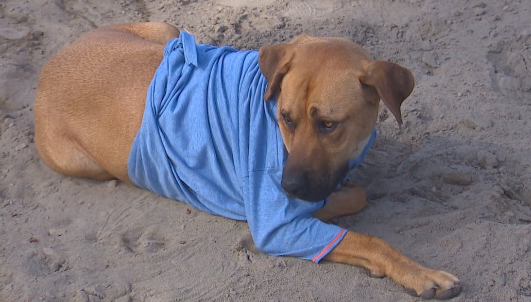 Eatonville dog shot with hunting arrow, survives >>