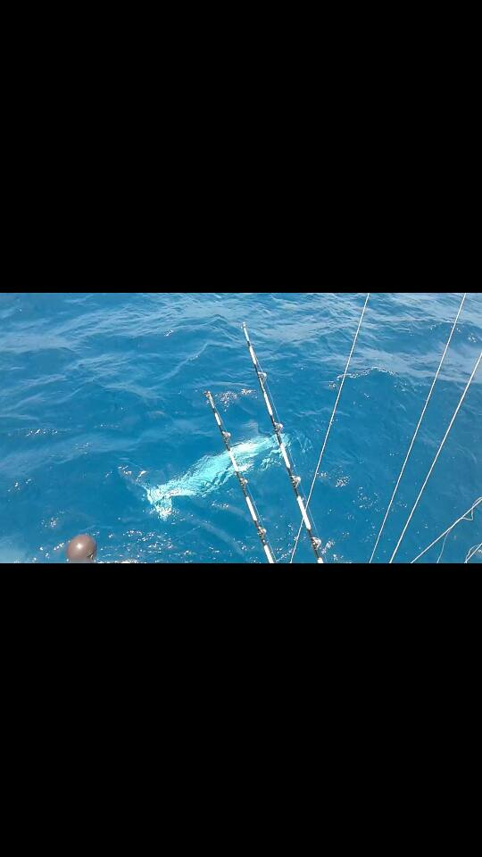 Watamu, Kenya - Alleycat released a Black Marlin (450) and a Sailfish.