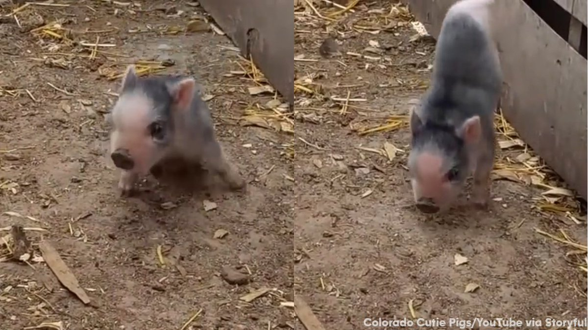 Little piglet learns to walk using only front legs