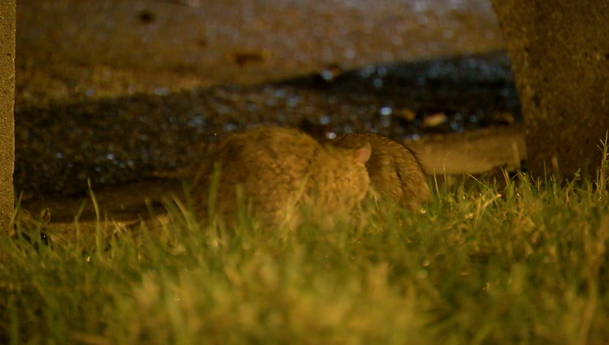 City officials step up efforts to eliminate rodents in DC: @ABC7Annalysa