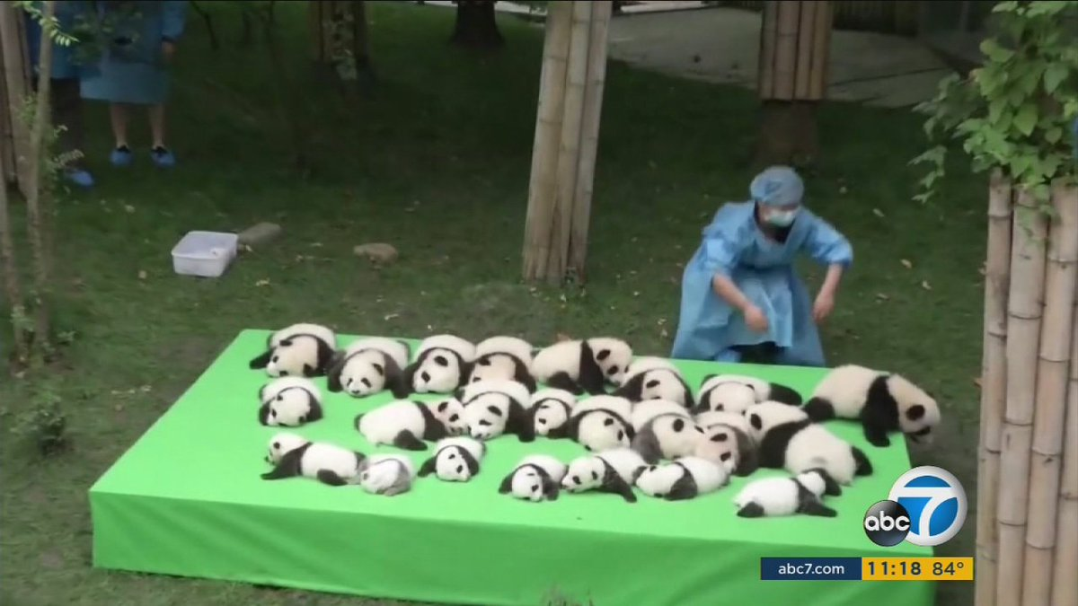 23 adorable baby pandas make the cutest public debut in China