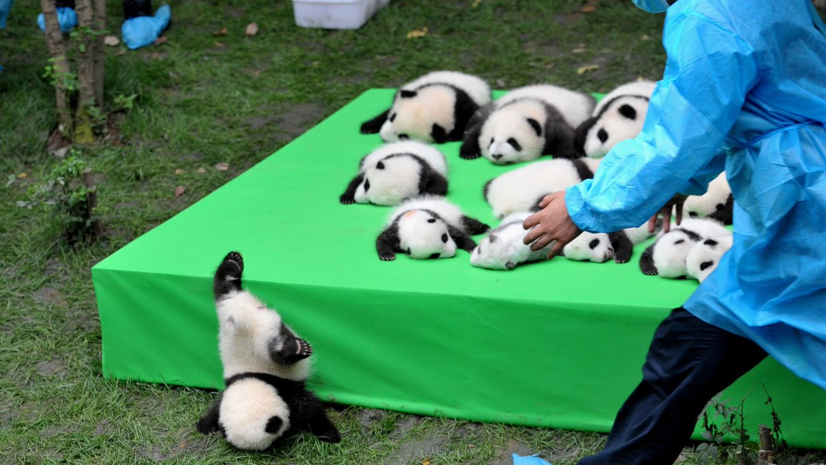 23 panda cubs make public debut, one adorably face-plants.