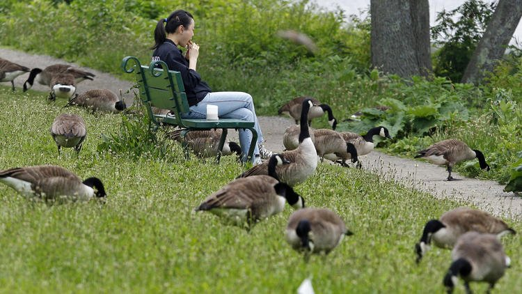 Goose poop: It's everywhere and it's becoming a problem