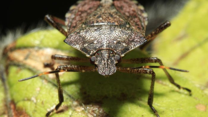 Invasive stink bug spreads to more Illinois counties, U. of I. researchers say