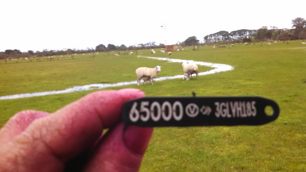 Just put tag 5000  in a performance recorded Cashmore Oaklea maternal lamb. More 3 % rams for 2017. Regards Jk