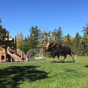 Bull moose meanders through Lester Park https://t.co/zRUoLYDc95 https://t.co/dB7yWQRZyU