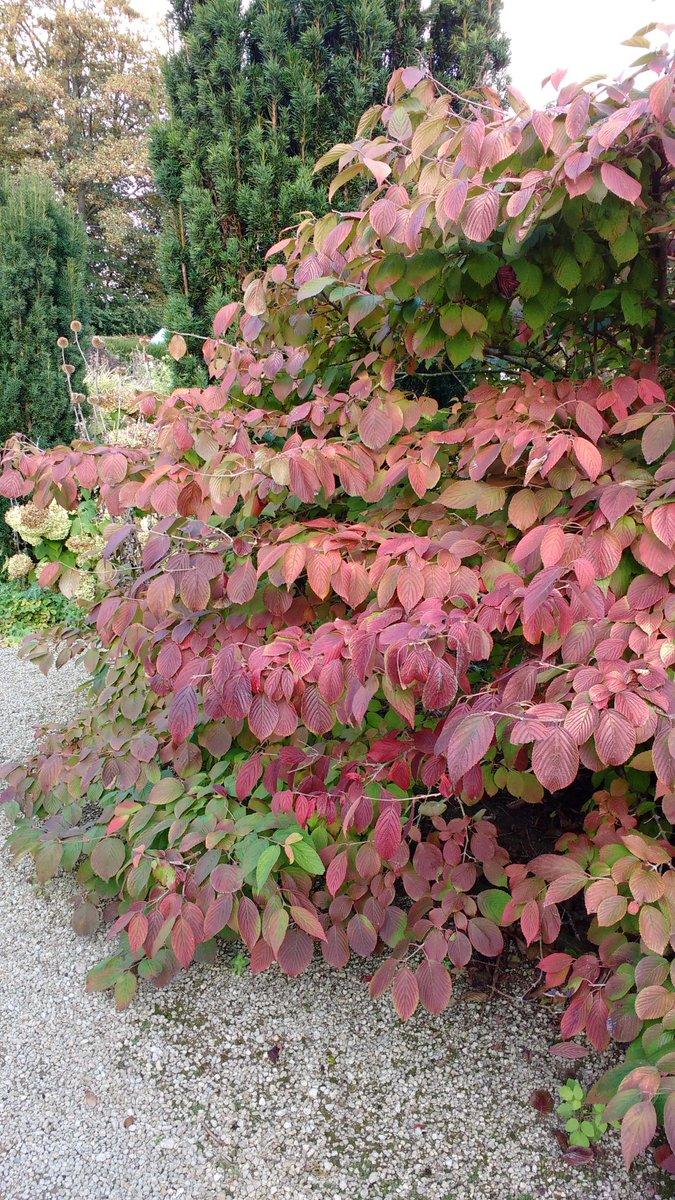 Colour in the White Garden?! At this time of year there's lots! #autumncolours