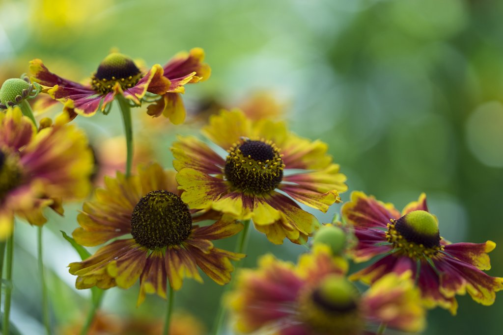 RT @aworsdell Heleniums @LoseleyPark for #RHSPhotoComp 2nd October entry