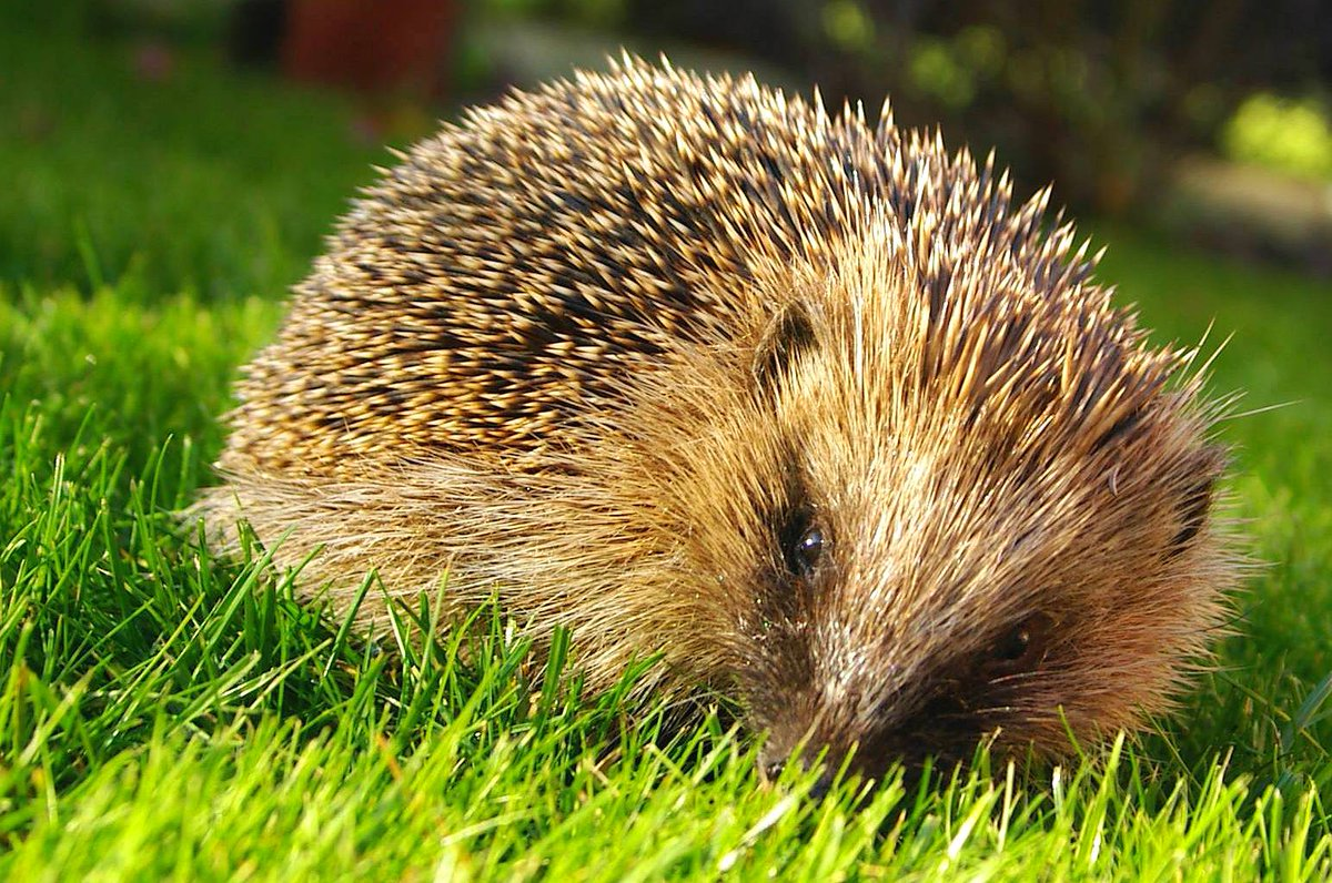 When cutting back hedgerows & shrubs please check for hedgehogs & other wildlife https://t.co/6vBVcBZAV6