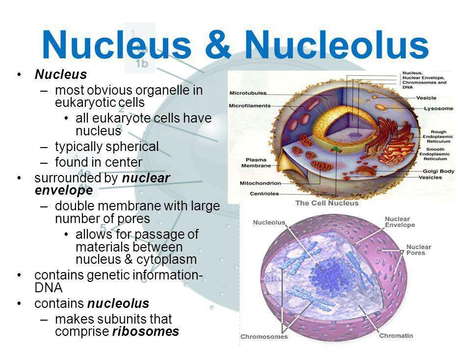 Nucleus nucleolus cc8nucleus twitter 0 replies 3 retweets 4 likes ccuart Choice Image