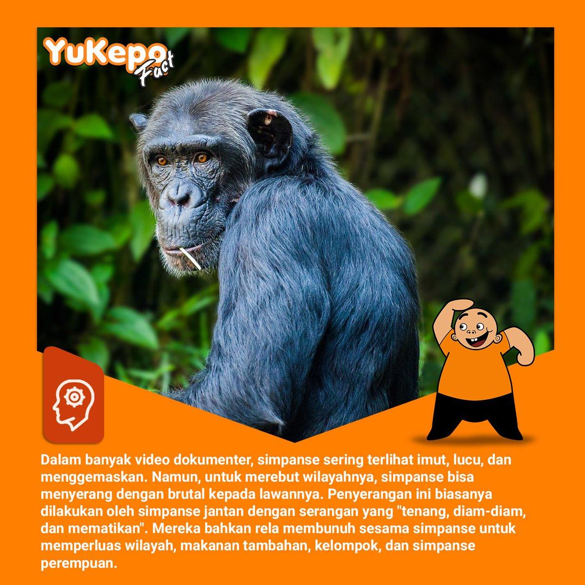 """nusantara media on twitter: """"simpanse bisa galak juga. :o"""