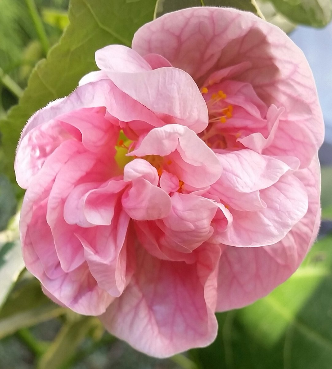 Gary R Keim On Twitter My Hybrid Flowering Maple Abutilon
