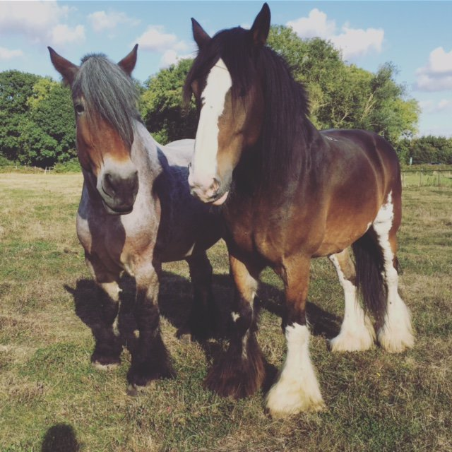 Putting smiles on our horses faces this #worldsmileday #shirehorse #dutchdraft Enjoying the sunshine https://t.co/15lAcVqUL3