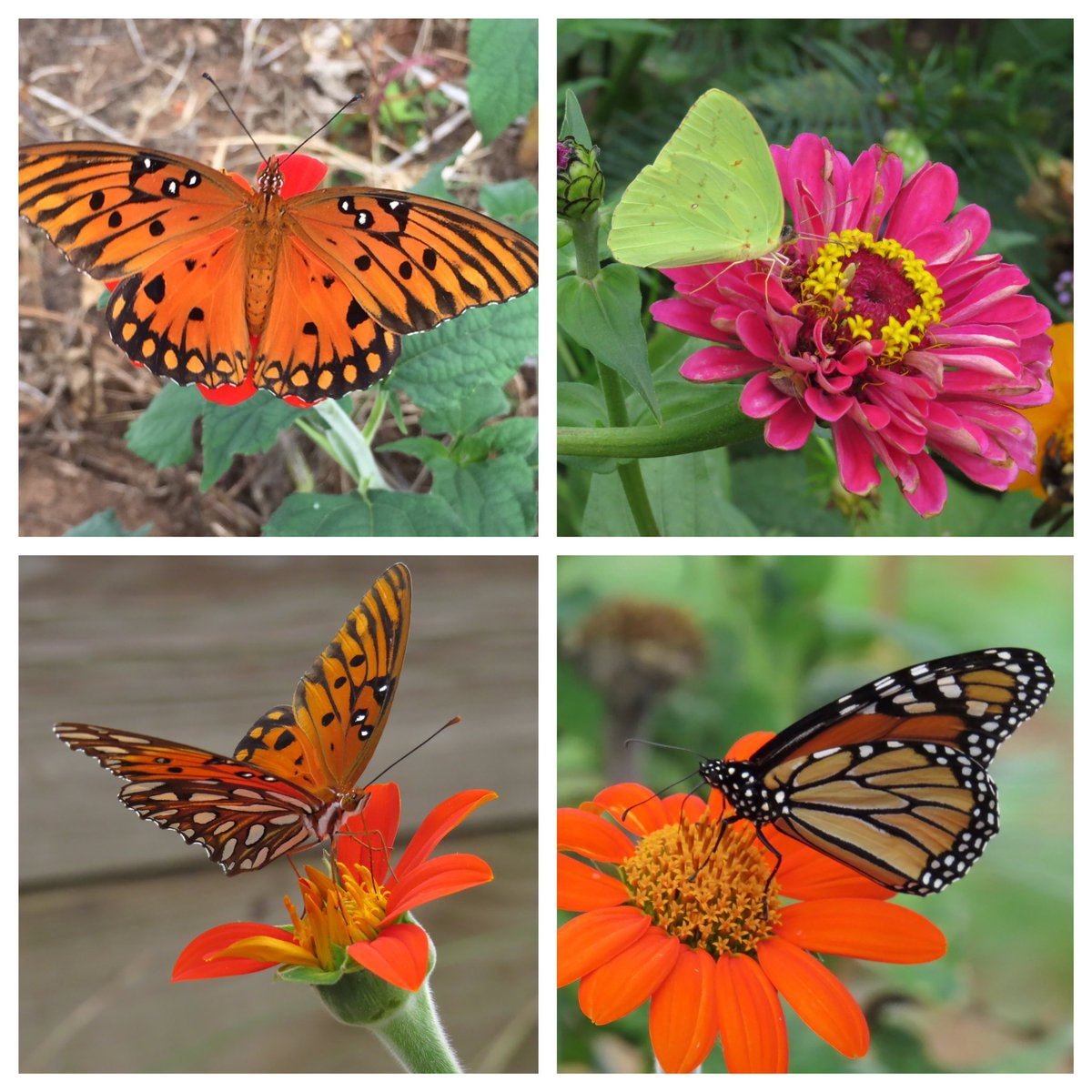 @HortErotica @srilankanflora @MyArizonaSky while they still fly...including a #monarch 10/08/2016 https://t.co/QYInxokzqg
