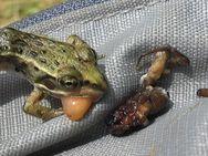 ちなみにカエル類は胃を反転させることで、割と簡単に(かつ傷付けずに)食性を調べることができる。餌を丸のみするので、胃内容物も同定可能である場合も多い。予想以上に色んな分類群がでてきて興味深かった。