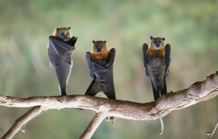 Fruit bats upside down look like a really emo 90s boyband https://t.co/1Qzk7J6OoK