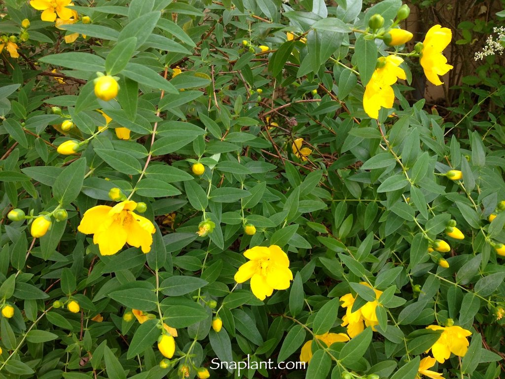Snaplant On Twitter Whats This Bush With Yellow Flowers