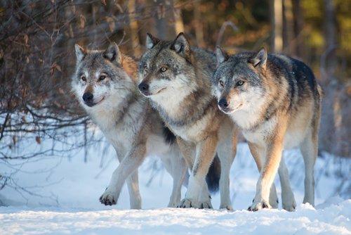 prettywolf on twitter join the pack shop pretty wolf prettywolf