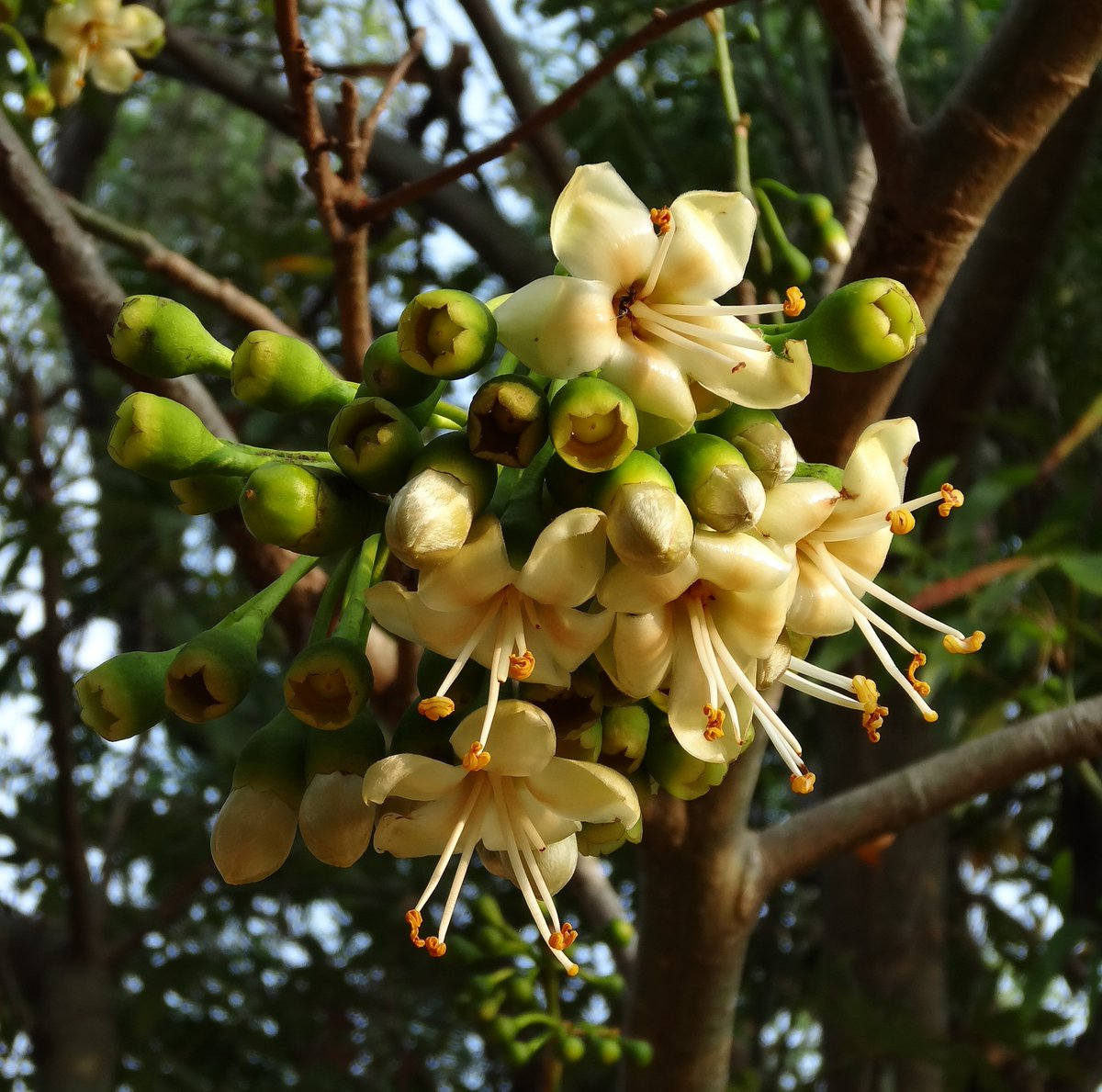 Flowers of Sri Lanka on Twitter: