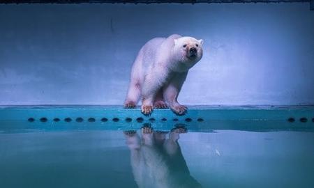 Pizza, l'Orso polare più triste del mondo.