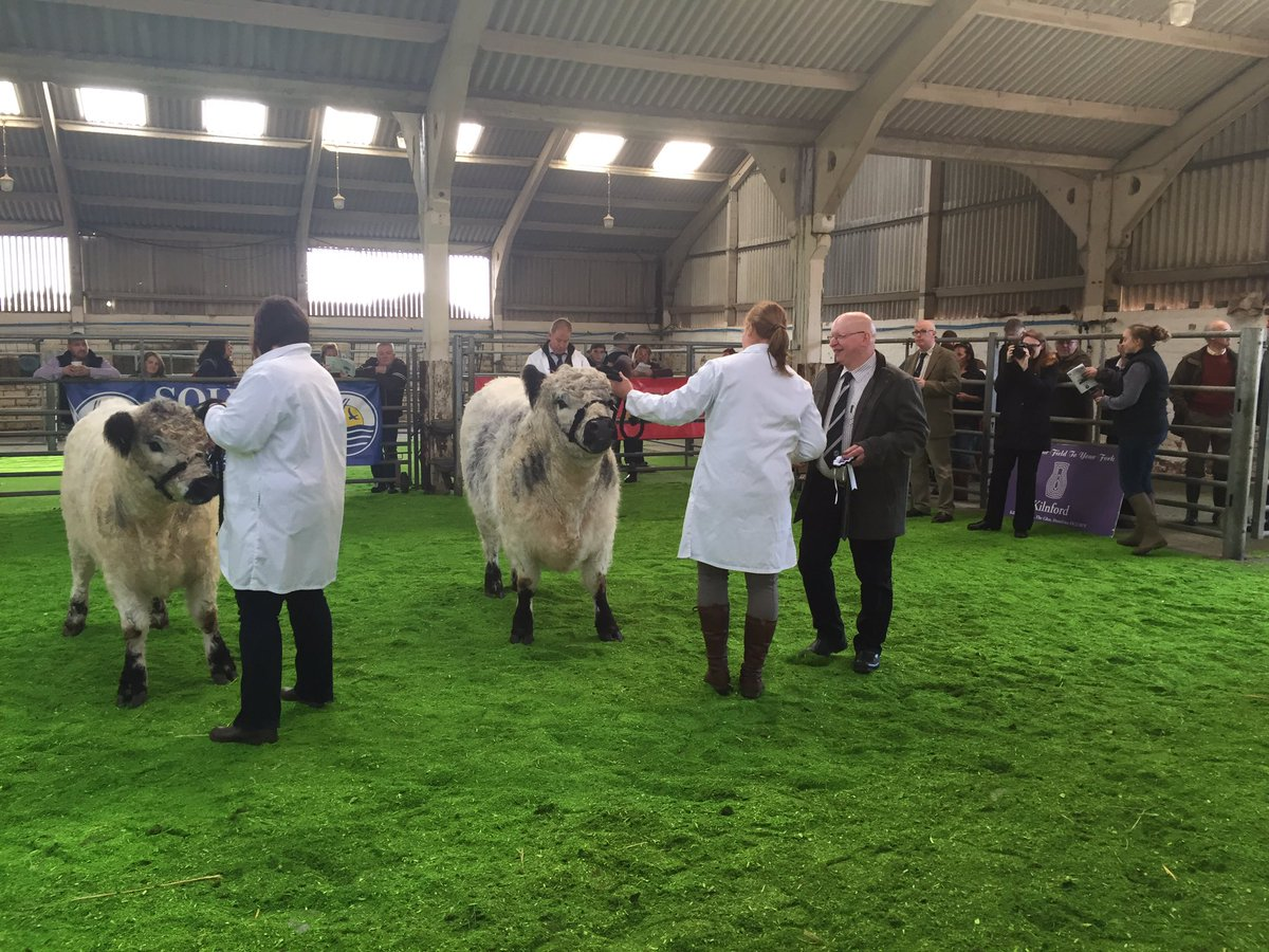 Well done @Belted_Galloway with Irelandton Maleficient #1st