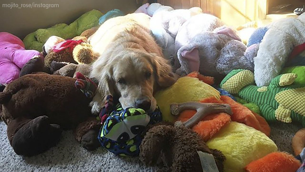 This golden retriever has an adorable bedtime routine