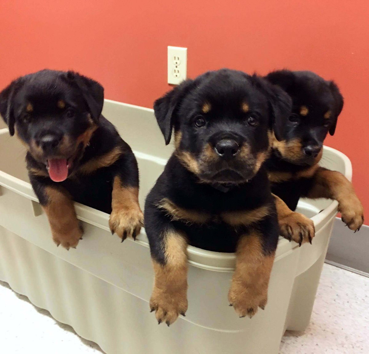 Rottweiler Puppies On Twitter 3 Male Akc Rottweiler Puppies Left