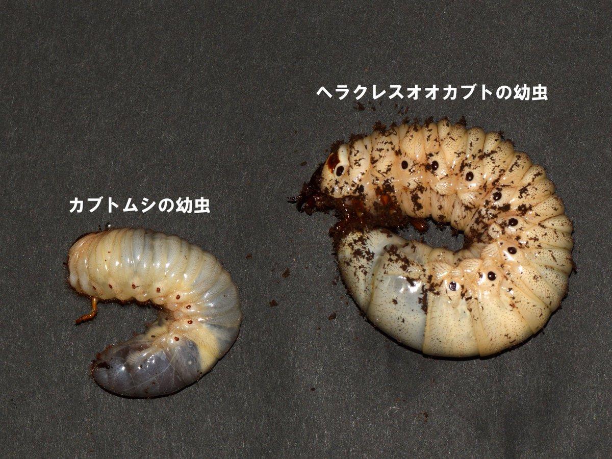 カブトムシ 幼虫 飼育