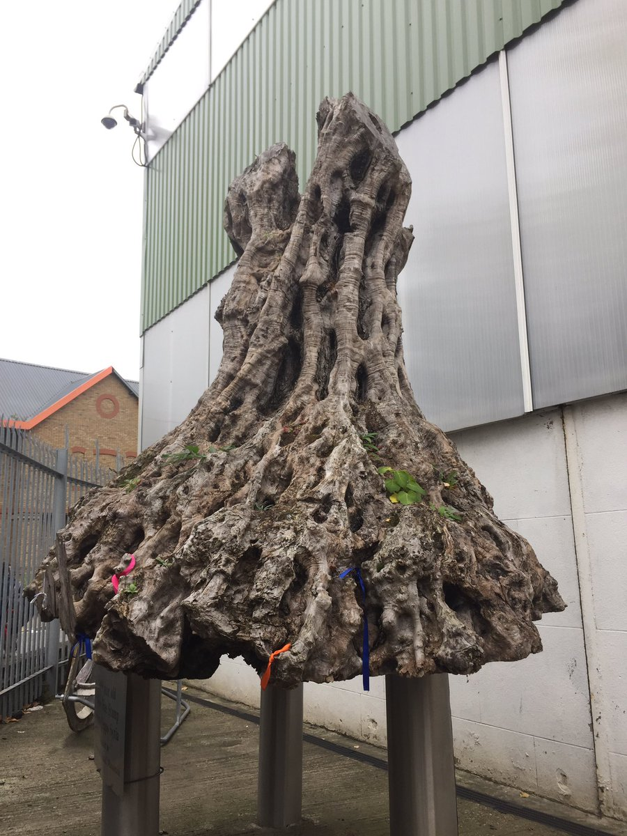 Ticl on twitter its a 1600 year old olive tree stump from aleppo ticl on twitter its a 1600 year old olive tree stump from aleppo syria olive trees are a symbol of peace and hope gtol treestory treecharter buycottarizona Choice Image