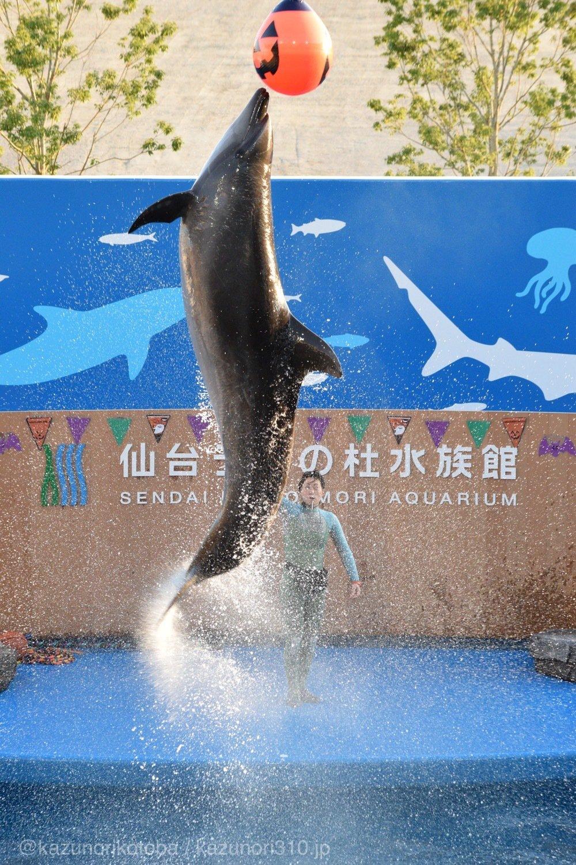 仙台うみの杜水族館、ハロウィン版バンドウイルカのイルカショー https://t.co/4IXhqaQ4n1