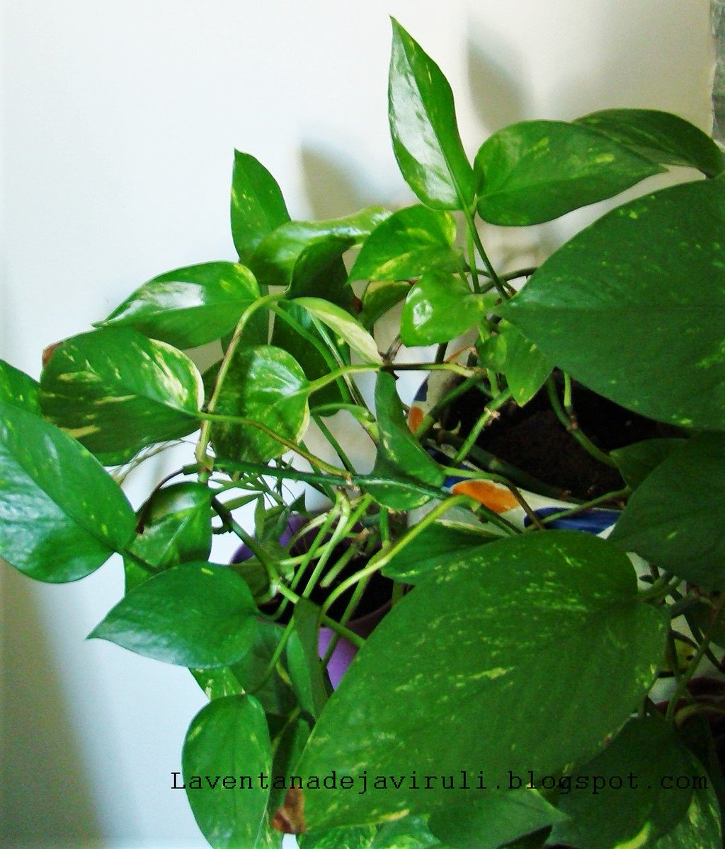 The Epipremnum Aureum All Of This More In My Blog Https T Co Fp5cexb3ka Poto Photos Plantas Interior Deco Cbznaxey6x