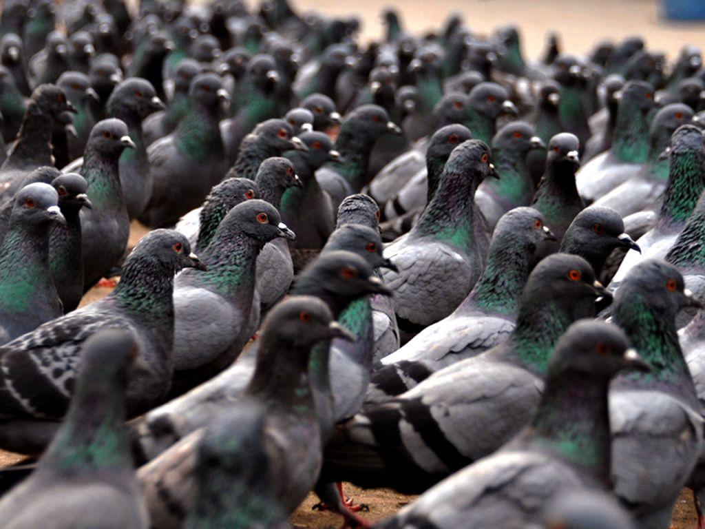 150 Pakistani pigeons were detained in India on suspicion of espionage