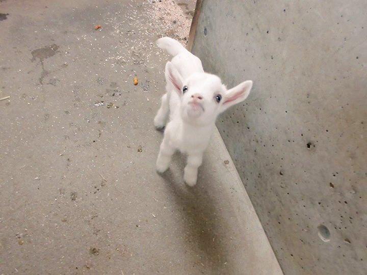 【ヤギの赤ちゃんがうまれました!!】10月2日(日)、 あぐりの丘に新しい仲間が増えました!元気な3頭のヤギの赤ちゃんです!!3頭の名前は、後日皆様から大募集します♪ぜひ、かわいい子ヤギちゃんたちに会いに来てください! pic.twitter.com/31NLR5Xuca