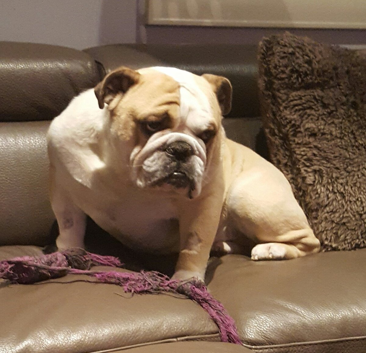 Took the bulldog in today to be neutered. He just seems so disappointed and pissed at me. #bulldogs #lovemydog #monkey #bigboydog #love