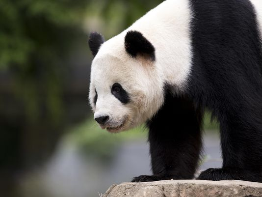 Pandas leaving @NationalZoo for move to China