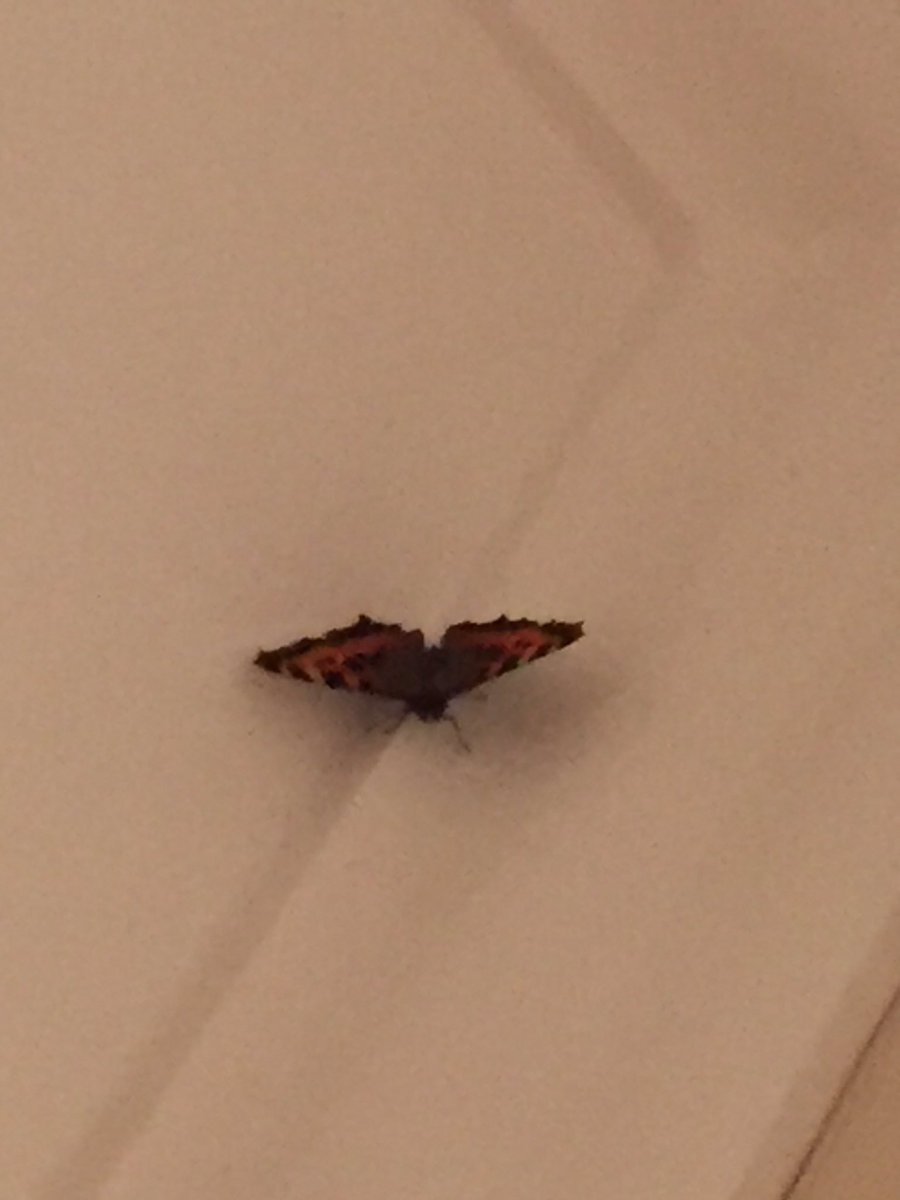 This is actually quite strange, butterfly in my room. #butterflieswelcome #refugeestoo Anyone want 2 guess it's age https://twitter.com/littleredsal/status/789237857475059712/photo/1pic.twitter.com/6VmqWGydbQ