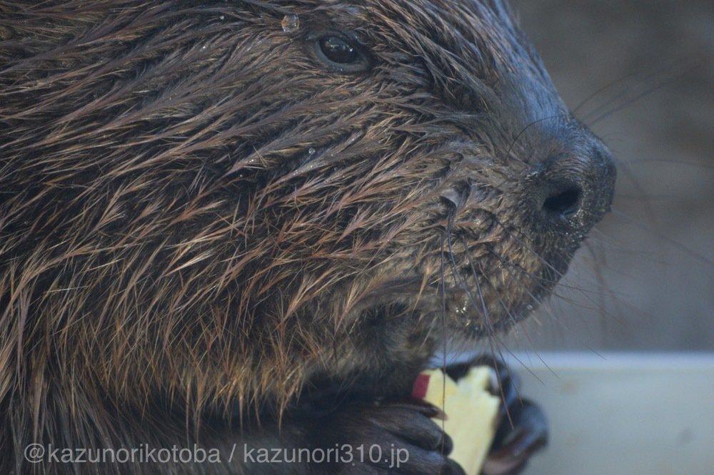 仙台うみの杜水族館、アメリカビーバーさん https://t.co/jV1KyJ9Zct