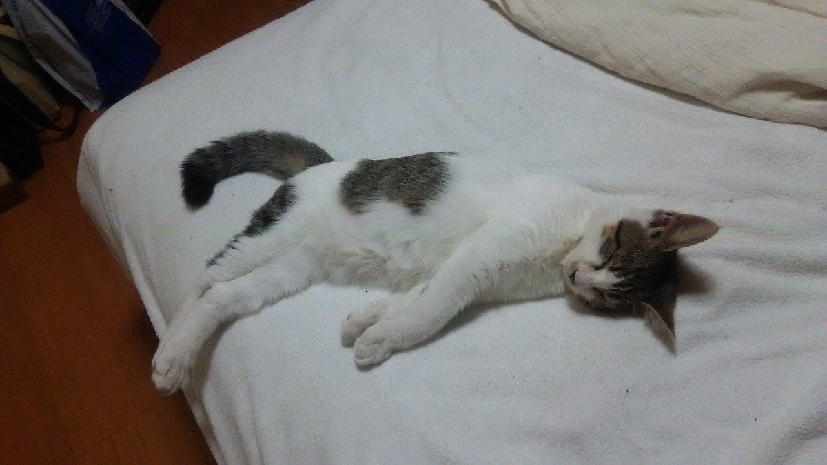 とりあえず、安心しきってヒトのベッドで寝息たててる猫の写真を貼る https://t.co/DG7EjWlhph