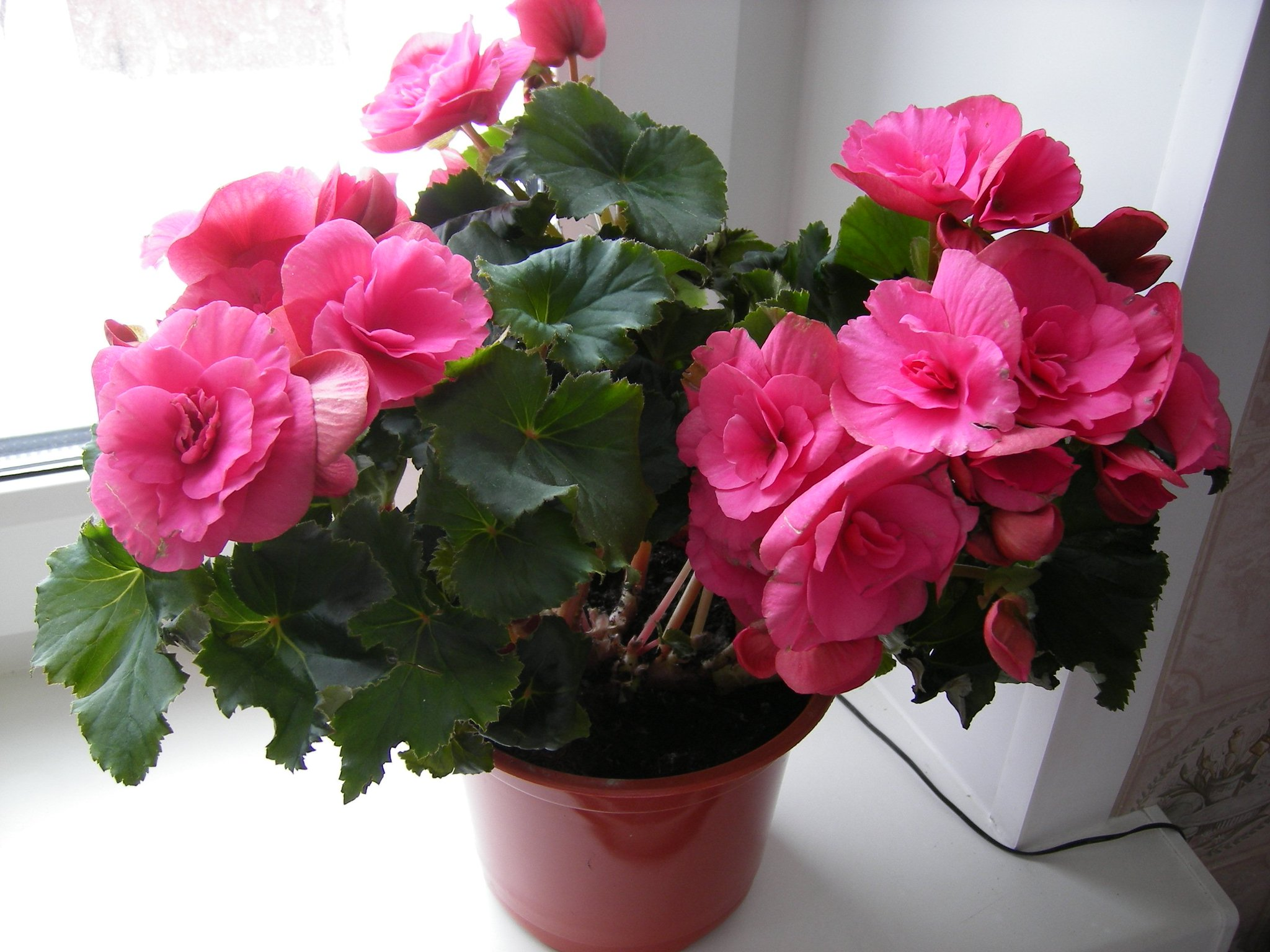 Цветы бегония уход в домашних условиях фото