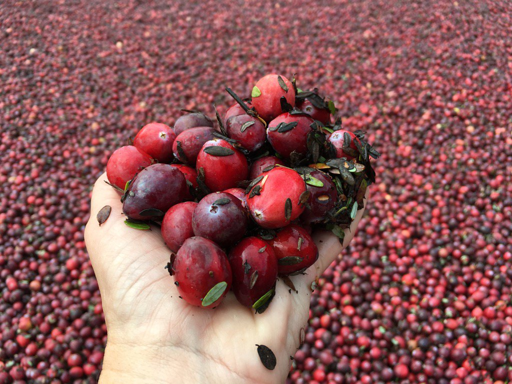 Berry good: It's cranberry Harvest time in Jersey, a sea of red in the Pinelands bogs. We talk w/farmers 6abc at 6