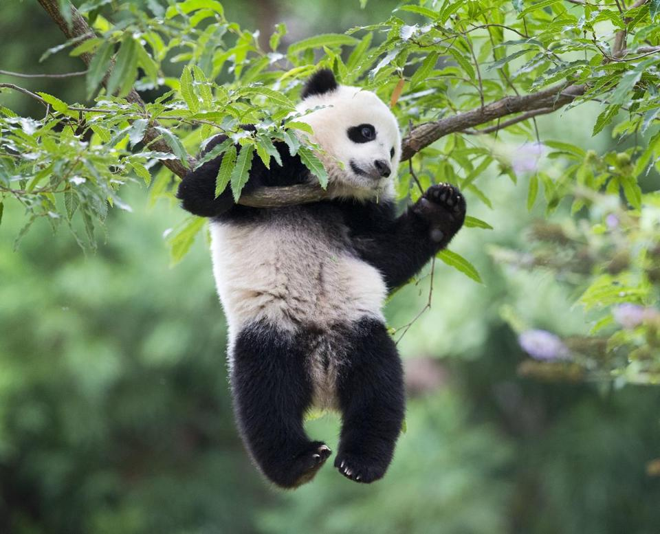 The panda population in the United States is dropping by three.