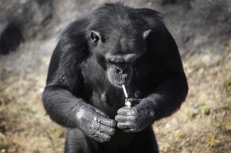 Meet Azalea the smoking chimp, new star at Pyongyang zoo.