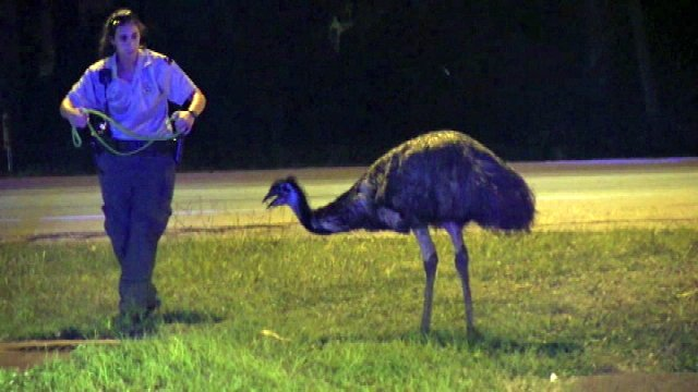 Evasive emu sends deputies in Florida on wild chase>>