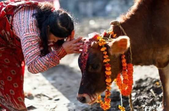 तिहारः यमपञ्चकको चौथो दिन गाई, गोरु, गोवर्द्धन र म्हपूजा गरिदै