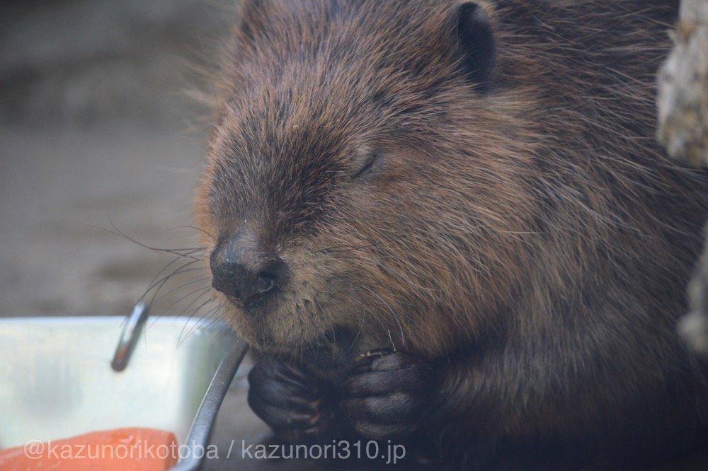 仙台うみの杜水族館、寝ぼけてて、ご飯を食べきったのに食べてるようにムシャムシャしてる(ように見える)アメリカビーバーさん https://t.co/37S2AfNc8n