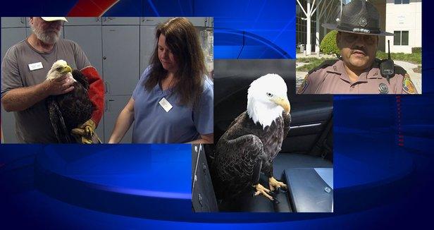 Trooper in Florida explains how he rescued injured bald eagle