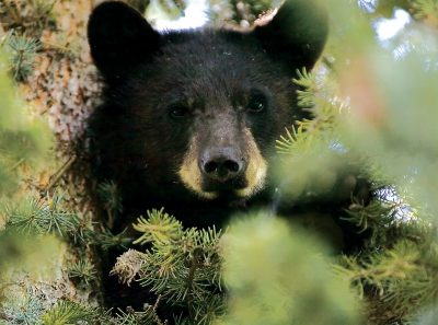 Colorado may euthanize more bears and lions to try to boost dwindling deer numbers