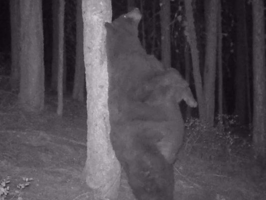Bear caught scratching back on tree in surveillance video