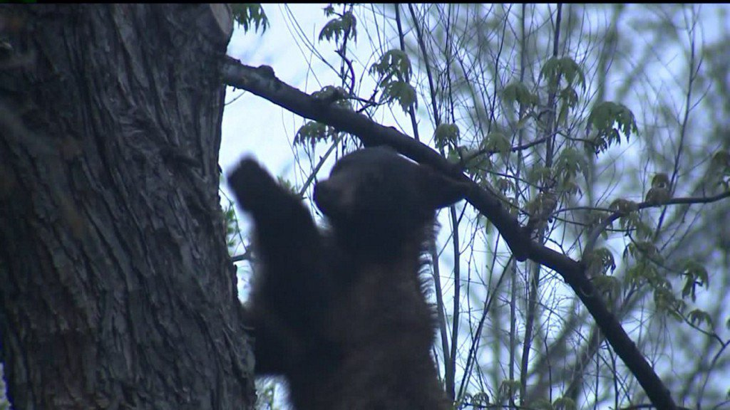 Bear that attacked hunter will be euthanized when captured